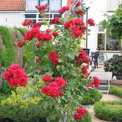 snoeien roos